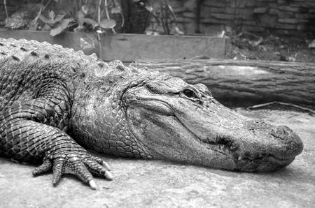crocodile_modele_dessin