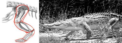 pattes-crocodile