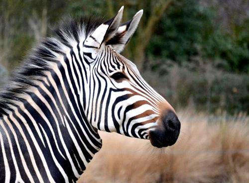 Peindre un zebre a l 39 aquarelle realiser un croquis - Zebre a dessiner ...
