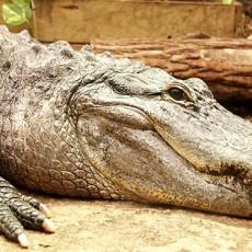 apprendre à dessiner un crocodile facilement