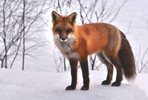 episode et cours pour apprendre à desisner un renard roux