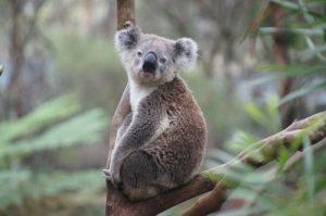 Dessiner un koala mignon avec ce cours dessin-creation
